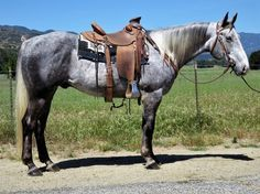 Check out this amazing 7 YEAR OLD 15.1 GRAY GELDING Quarter Horse for sale in Oak view, California USA!