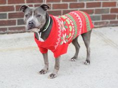 SUPER URGENT Brooklyn Center CINDERELLA aka NICE aka HAZE – A1098989  FEMALE, GRAY / WHITE, AM PIT BULL TER MIX, 9 yrs OWNER SUR – EVALUATE, NO HOLD Reason MOVE2PRIVA Intake condition EXAM REQ Intake Date 12/07/2016, From NY 11434, DueOut Date 12/07/2016,