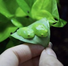 ପ੭j♡celyn੭ଓ в Твиттере: «don't want to be a girl.just a tiny glass frog sitting on a leaf Cute Reptiles, Reptiles And Amphibians, Cute Little Animals, Cute Funny Animals, Frogs Preschool, Frog Logo, Terrarium Reptile, Frog Illustration, Frog Drawing