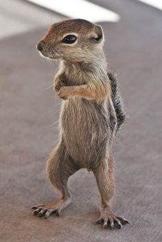 """""""I'm Back"""". Antelope Ground Squirrel looking for his free peanut snack,   Henderson, Nevada. Photo James Marvin Phelps"""