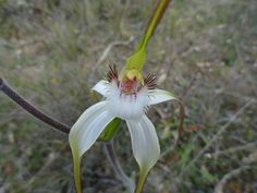 Spider Orchid from West Australia