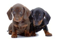 Dachshund Puppies! http://www.localpuppybreeders.com/dachshund-dog-breed-information/
