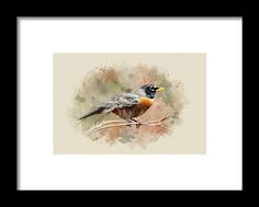 American Robin - Watercolor Art Framed Print By Christina Rollo