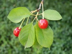 листья вишни фото - Поиск в Google