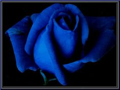 Image detail for -blue rose roses wedding colour color mean meaning bouquet flower ...