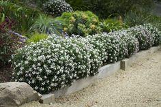 Daphne Eternal Fragrance hedge. Mi-ombre. Persistant. Floraison:mars, avril. Hauteur 1,50m