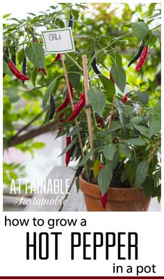 Hot peppers, from the Capsicum family, are the International Herb of the year for 2016 and come in a large range of shapes, colors, and spiciness. They're easy to grow in the home garden or in a pot - click through to find out how!