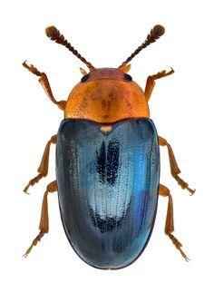 Triplax scutellaris   Erotylidae