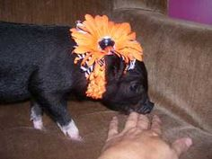 Find Pigs for sale and adoption. Buy, sell, adopt and advertise your Pig here. These days, Pigs go by many names. They can be regular Pigs, Mini. This Little Piggy, Little Pigs, Pigs For Sale, Baby Piglets, Pot Belly Pigs, Mini Pigs, French Bulldog, Cute, Funny Stuff