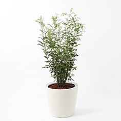 [Net] Rechuza limited to the planted ash floor size LL   Muji net store