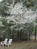 flatwood plums florida native - Google Search