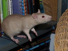 Comma assessing distance Rats, Distance, Animals, Animales, Animaux, Long Distance, Animal, Animais