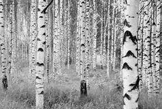Woods- Panoramique Komar