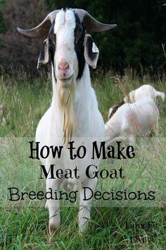 Make Meat Goat Breeding Decisions