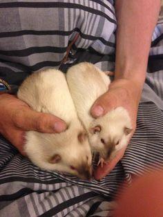 Siamese Rats