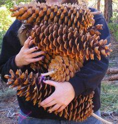 Big pine cones