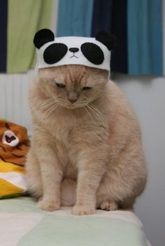 """ Yoo may 'tink dis 'cute panda hat, but I is  cream tabby kitteh and u depress me wiff  yer folly."""