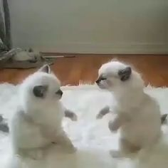 Cutest world wrestling cats - cats and kittens videos stories - Katzen Cool Cat Trees, Cool Cats, Cute Funny Animals, Cute Baby Animals, Funny Kittens, Cute Cats And Kittens, Kittens Cutest, Kitty Cats, Birman Kittens