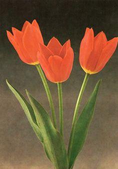 Tulip «Lenin´s Memorial»