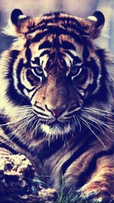 tiger, stunning