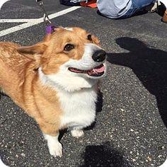 Chaska, MN - Corgi Mix. Meet Dash, a dog for adoption. http://www.adoptapet.com/pet/12757020-chaska-minnesota-corgi-mix