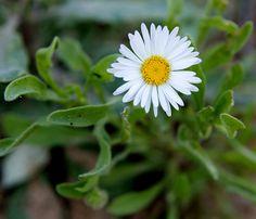 Lazy daisy (Aphanostephus skirrhobasis), Monument Rocks, Gove County, KS