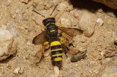Crabronidae) with its prey, Villasimius (Riu Trottu) (Sardinia, Italy) Bees And Wasps, Hunting, Animals, Animales, Animaux, Animal, Animais, Fighter Jets