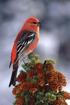 Pine Grosbeak - ©Michael Quinton (FineArtAmerica)  The pine grosbeak is a large member of the true finch family, Fringillidae. It is found in coniferous woods across Alaska, the western mountains of the United States, Canada, and in subarctic Fennoscandia and Siberia. Wikipedia