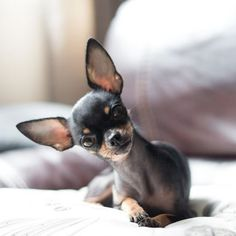 Dog Secrets: The Fastest Way To Your Dream Chihuahua! - chihuahua #chihuahua #chihuahualoved #chihuahuadaily