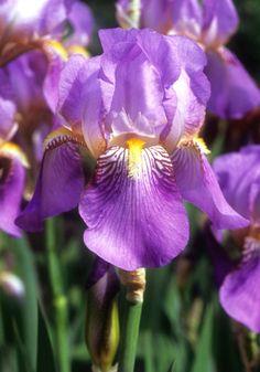 Iris - 'Queen Of May'