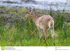 Common Reedbuck - Download From Over 30 Million High Quality Stock Photos, Images, Vectors. Sign up for FREE today. Image: 44763467
