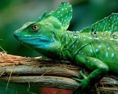 Weird Animals - the Green Basilisk Lizard. Watch the videos and see for yourself why this fascinating creature is called the 'Jesus Christ Lizard'!