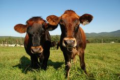 Canadienne cattle - the only dairy breed developed on the North American…