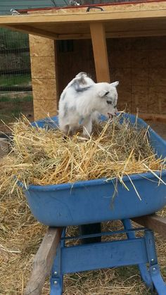 The ever so helpful goat, Lily! #OrganicLiving #Goats #Ranch