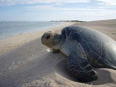 Nigaloo, breeding season for sea turtles