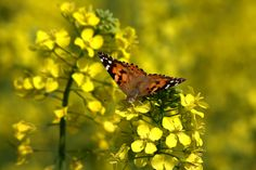 Butterfly on Canola Flowers