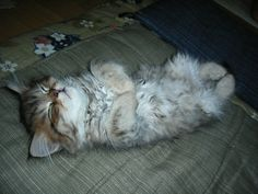 どんな夢見てるの?  猫の画像 猫ギャラリー