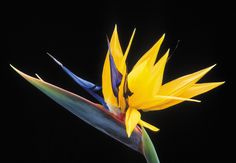 Shop Bird of Paradise: Tropical Flower Postcard created by taiche. Personalize it with photos & text or purchase as is! Most Beautiful Flowers, Exotic Flowers, Unique Flowers, Yellow Flowers, Tropical Plants, Tropical Flowers, Tropical Garden, Summer Flowers, Birds Of Paradise Flower