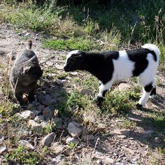 The Maaaaa of Pricilla: When Harry Met Stinky - The Tale of a Small Goat and an Even Smaller Cat