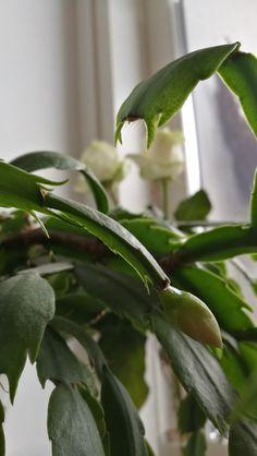 Pääsiäiskaktus on jo nupuilla ❤ Plant Leaves, Plants, Plant, Planets
