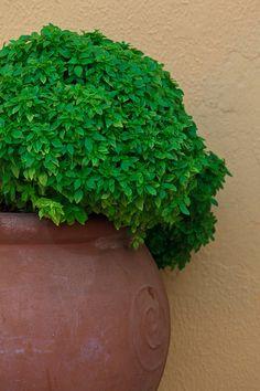 Greek herbs in pots Greece Pictures, Corfu Greece, Greek Cooking, Herbal Essences, Mediterranean Garden, Clay Pots, Ceramic Pots, Greece Travel, Tree Leaves