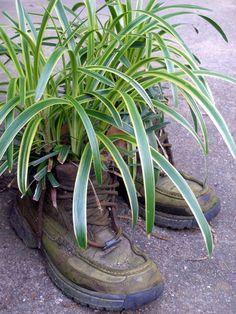 Old work shoes with Monkey Grass gowing in them.so beautiful. Old work shoes with Monkey Grass gowing in them.so beautiful. Garden Crafts, Garden Art, Garden Design, Monkey Grass, Organic Art, Container Flowers, Plantar, Garden Gates, Outdoor Plants