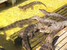 Gatorland - Kissimmee Florida
