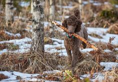 Brown poodle in action fetching a stick in the springtime forest - Brown poodle in action fetching a stick in the springtime forest.
