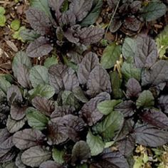Ajuga reptans Bronze Beauty from Santa Rosa Gardens - Bugleweed Shade Plants, Cool Plants, Evergreen Groundcover, Beauty P, Ground Cover Plants, Marijuana Plants, Cannabis Growing, Farm Gardens, Garden Accessories