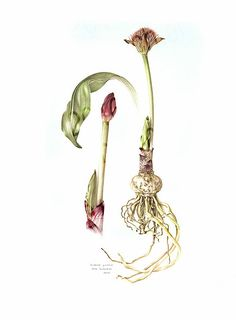 Looking for original botanical paintings or prints of Proteas, Aloes, South African flora? I paint in watercolour on commission and sell high quality prints. Botanical Wallpaper, Botanical Art, Plant Illustration, Botanical Illustration, Plant Painting, Typography Prints, Time Art, Whimsical Art, Teaching Art