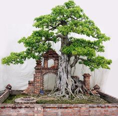 Fig Penjing Bonsai