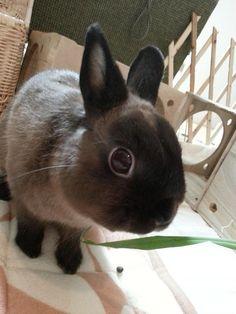 Siamese dwarf bunny - too cute! Dwarf Rabbit, Rabbit Run, Jack Rabbit, House Rabbit, Bunny Bunny, Cute Bunny, Funny Animals, Cute Animals, Dwarf Bunnies