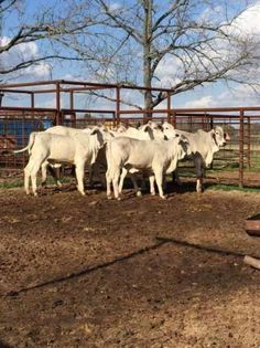 Livestock for sale in South Africa. OLX South Africa offers online, local & free classified ads for new & second hand Livestock. Livestock, Freedom, Ads, Female, Animals, Liberty, Political Freedom, Animales, Animaux