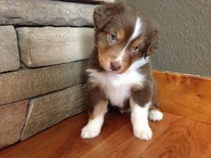 Litter of 6 Australian Shepherd puppies for sale in DURANGO, CO. ADN-24575 on PuppyFinder.com Gender: Male. Age: 5 Weeks Old